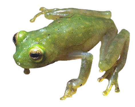 Amphibians drawing coqui frog. Collection of free frislet