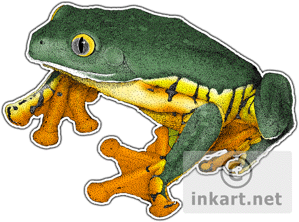 Amphibians drawing first. Splendid leaf frog cruziohyla