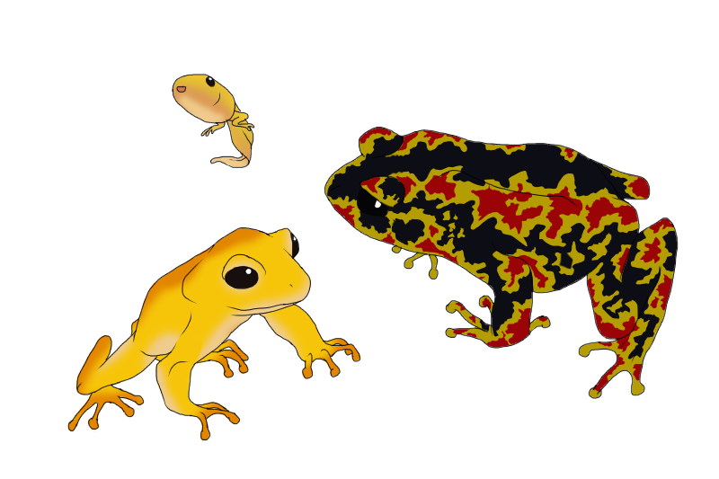 Amphibians drawing golden toad