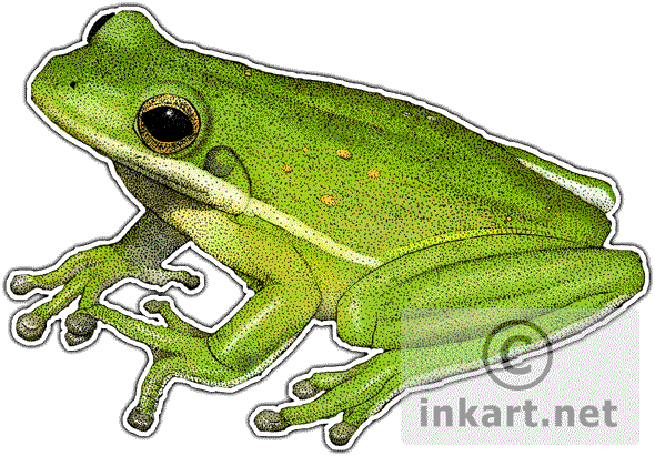 Frogs drawing ink. American green treefrog hyla