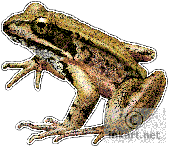 Frogs drawing ink. Northern red legged frog
