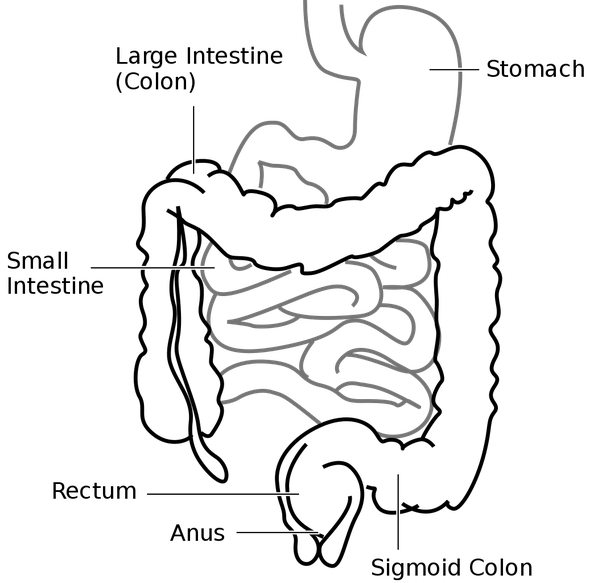 Gi Drawing Small Large Intestine Transparent Clipart Free