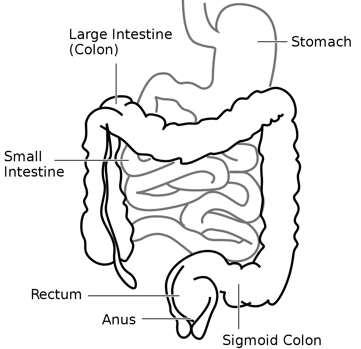 Butthole drawing anatomical. Sigmoid colon function location