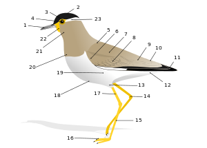 sawtooth clip bird