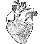 Anatomical heart png. Images in collection page