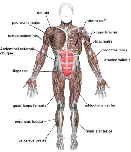 Types of tissue ck. Anatomical muscle psrinting png graphic free library