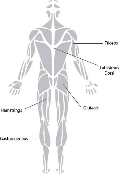 Exercise physiology muscles back. Anatomical muscle psrinting png png royalty free
