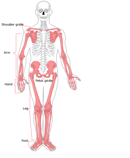 The body sytems screen. Anatomical muscle psrinting png clip art freeuse stock