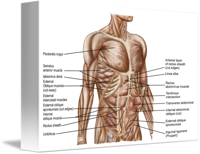 Anatomical muscle stretching png. Anatomy of human abdominal