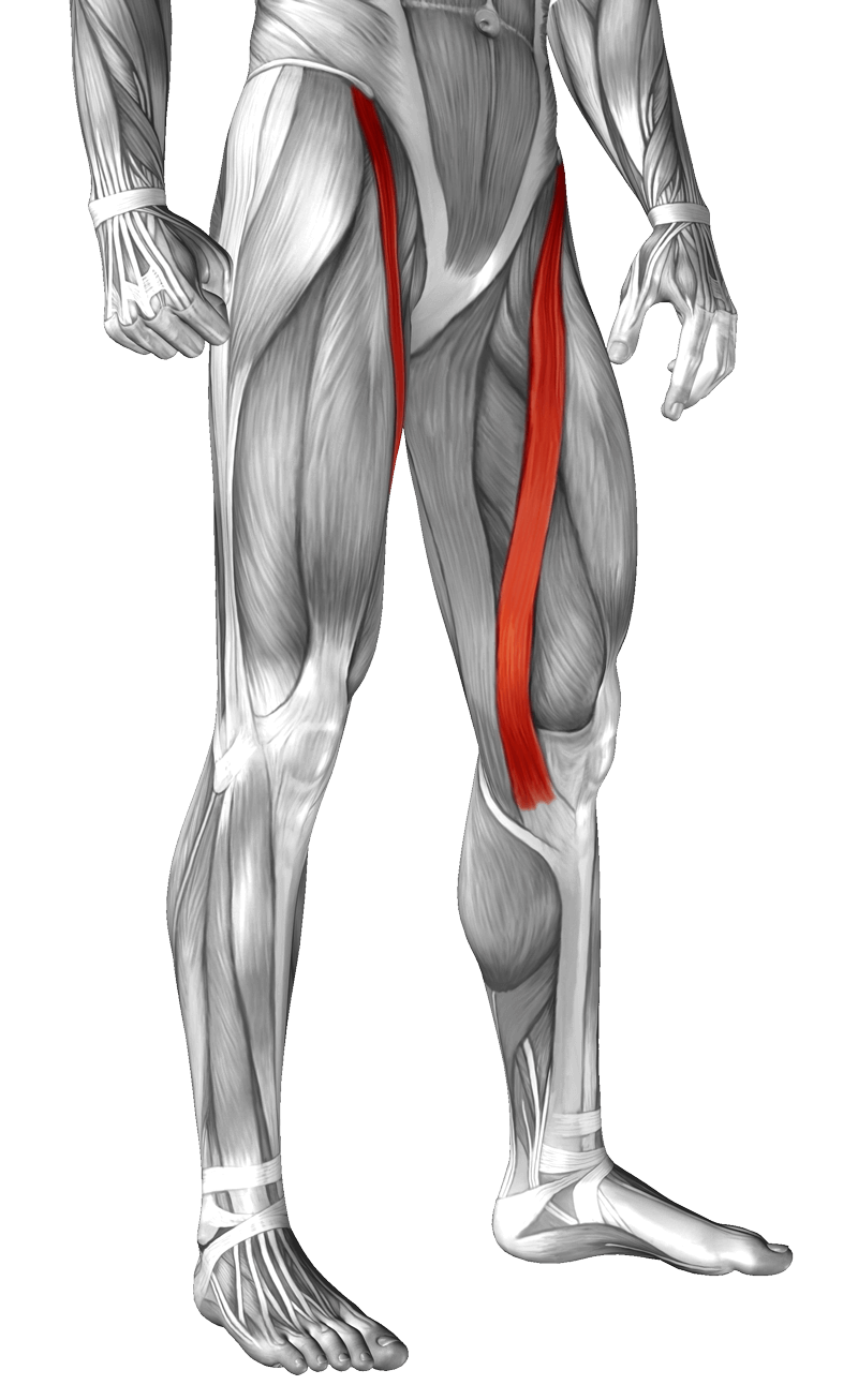 Anatomical muscle stretching png. Sartorius learn your muscles