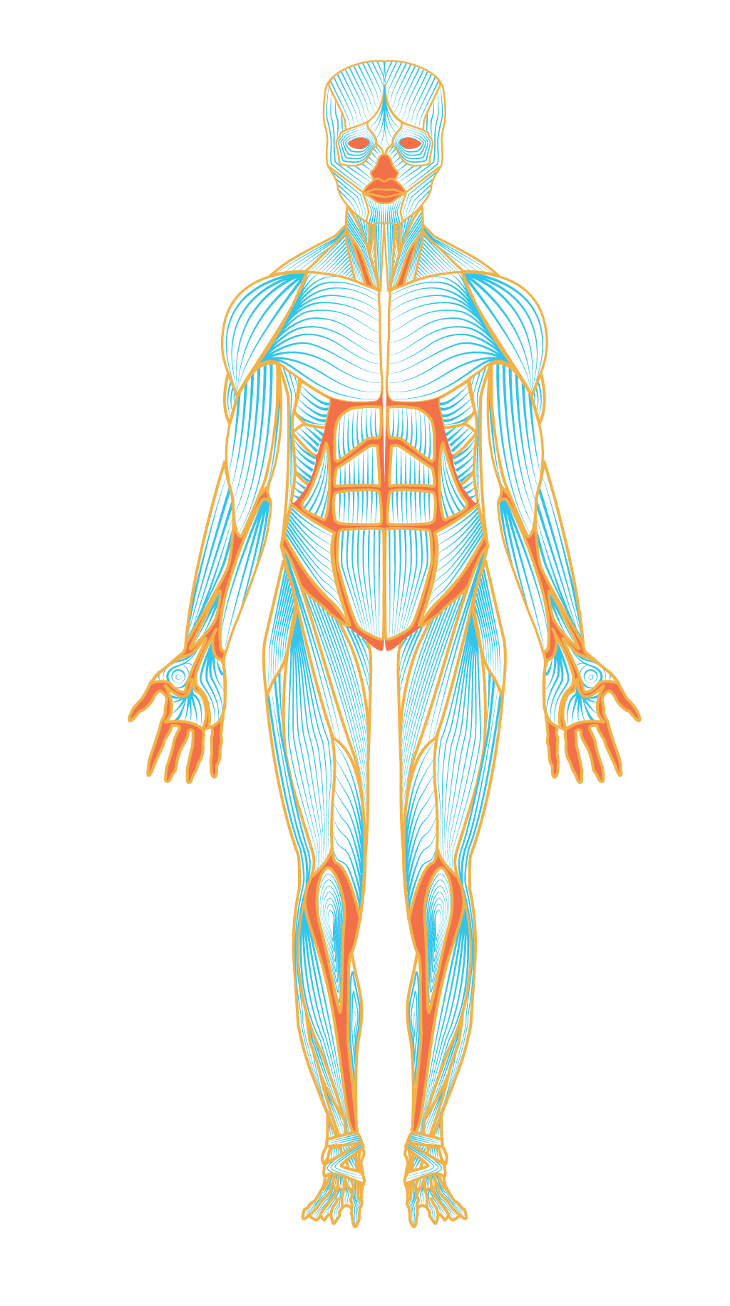 17 Anatomy Vector Back Muscle For Free Download On Ya Webdesign