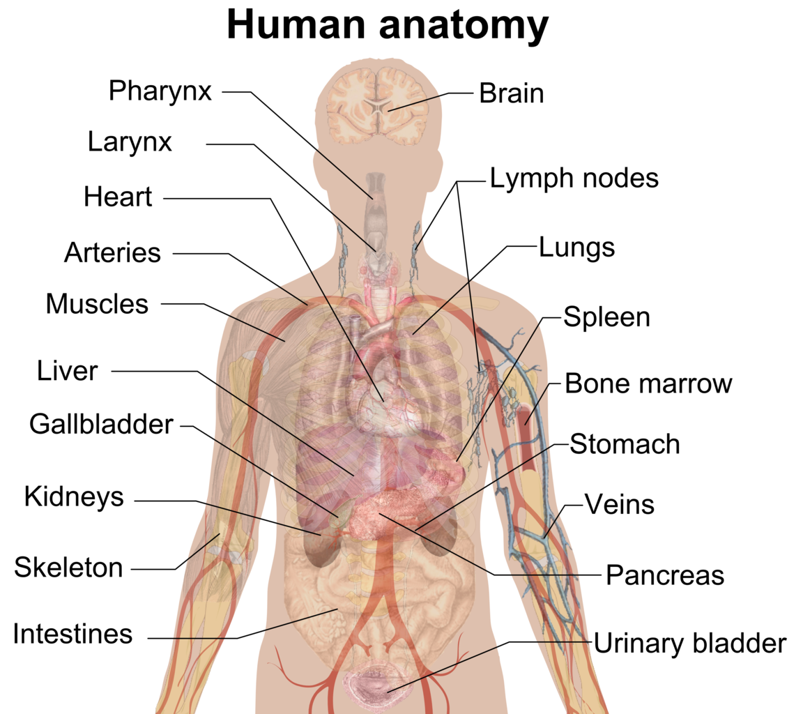Anatomy vector full body. File man shadow png