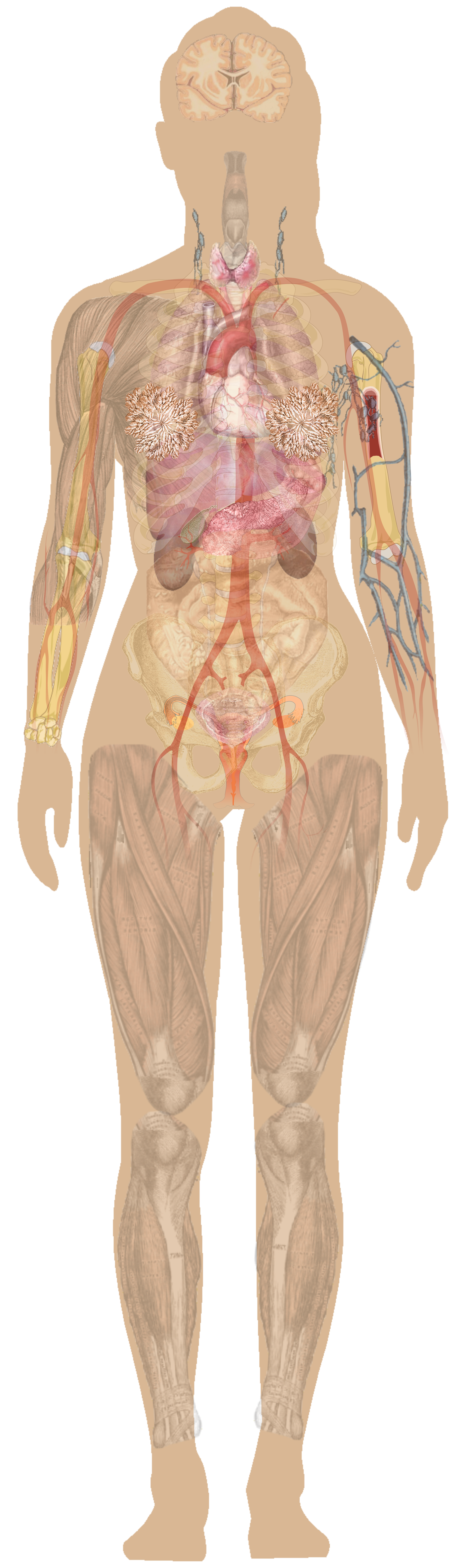 Astounding Anatomy Vector Human Torso Picture 1301585 Anatomy Vector Human Torso Wiring Cloud Oideiuggs Outletorg