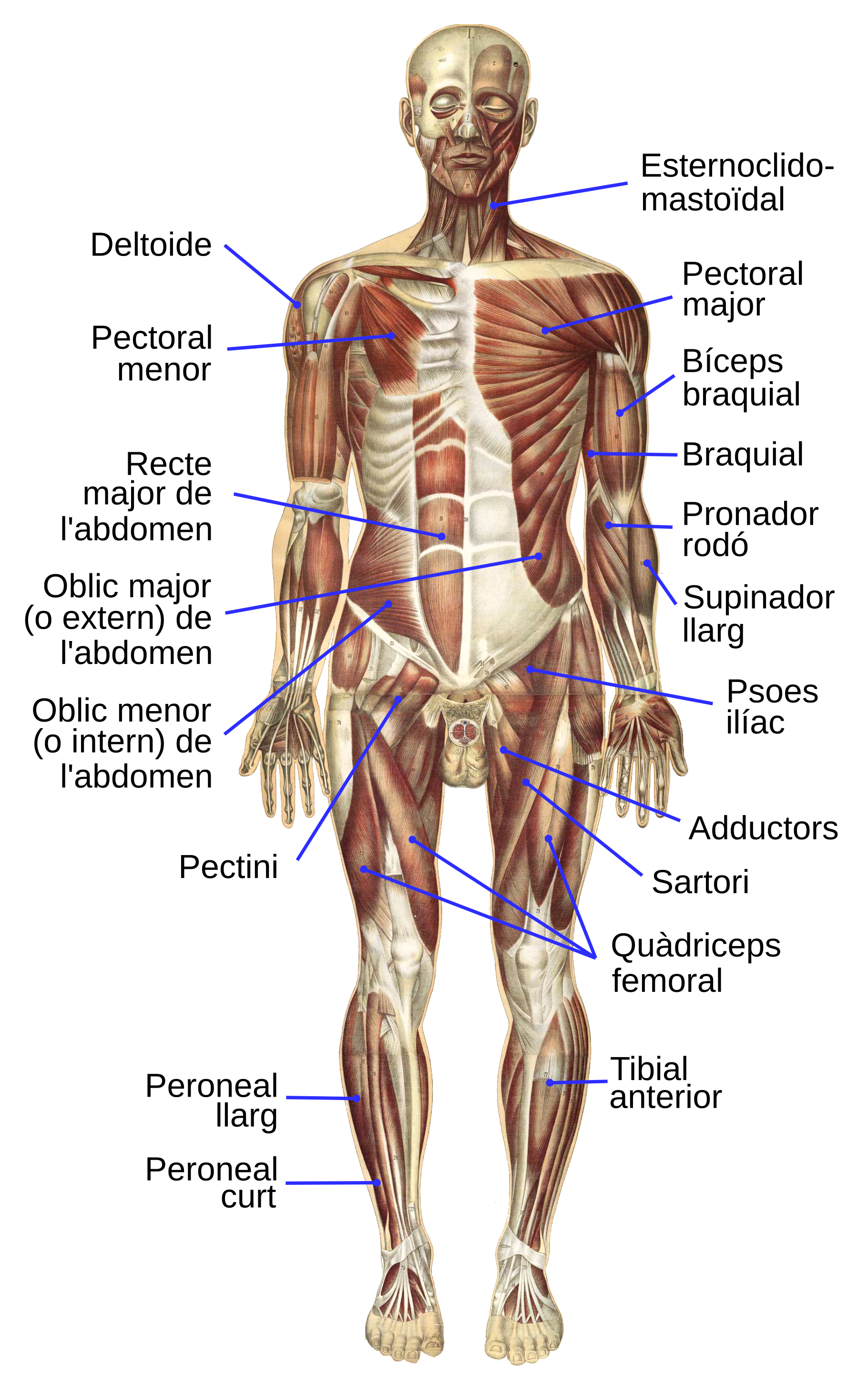 Anatomy vector muscular system. File bougle human anterior