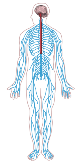 Transparent muscles unlabeled. Jpg musculoskeletal system