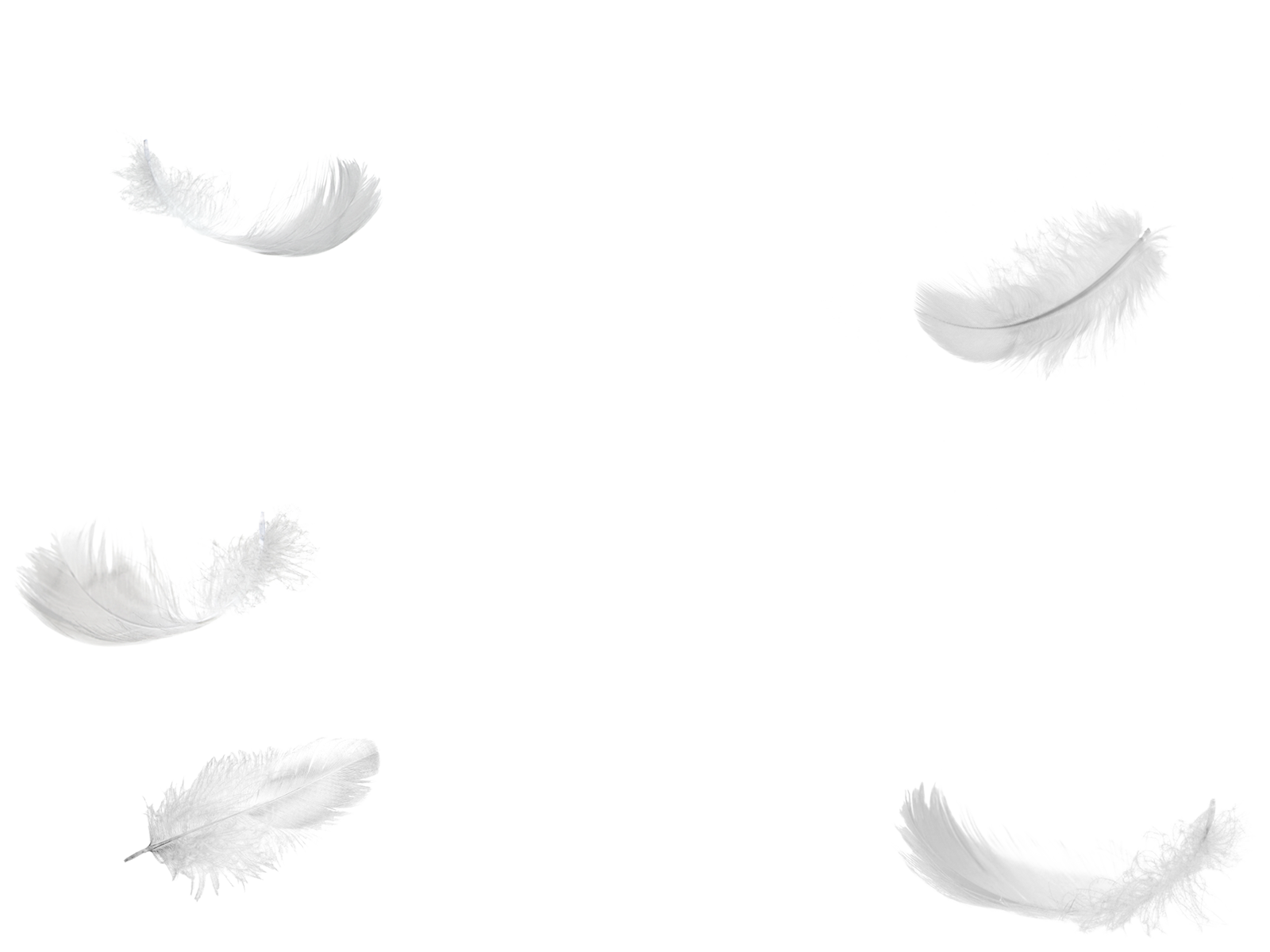 Angel feather png. Image feathers foreground animal