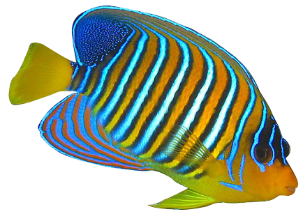 Fish clipart coral reef fish. Angel png hd transparent
