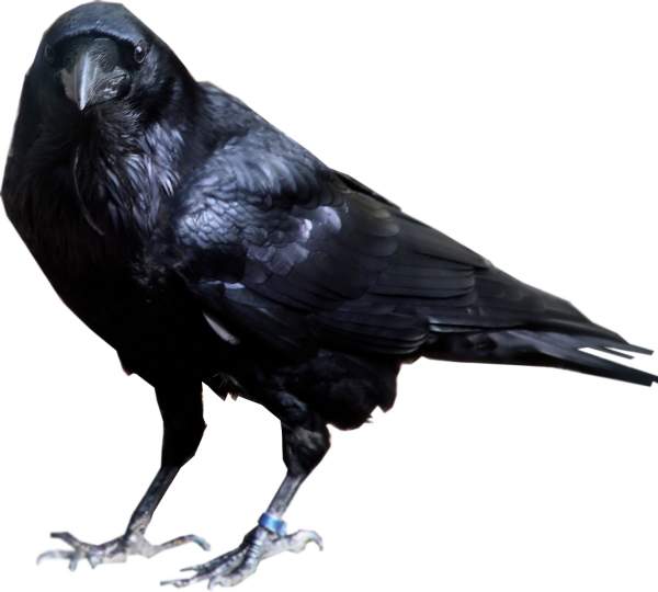 Angry clipart crow. Png freepngdownload com