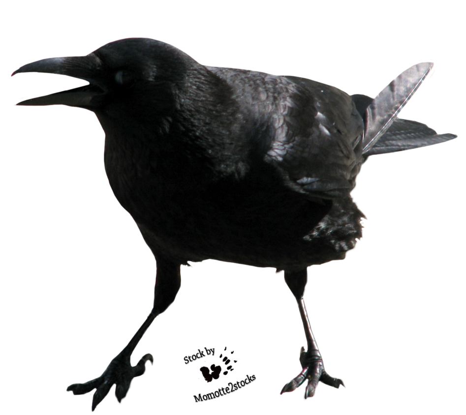 Angry clipart crow. Image result for crows