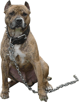 Pitbull png image. Angry dog hd transparent