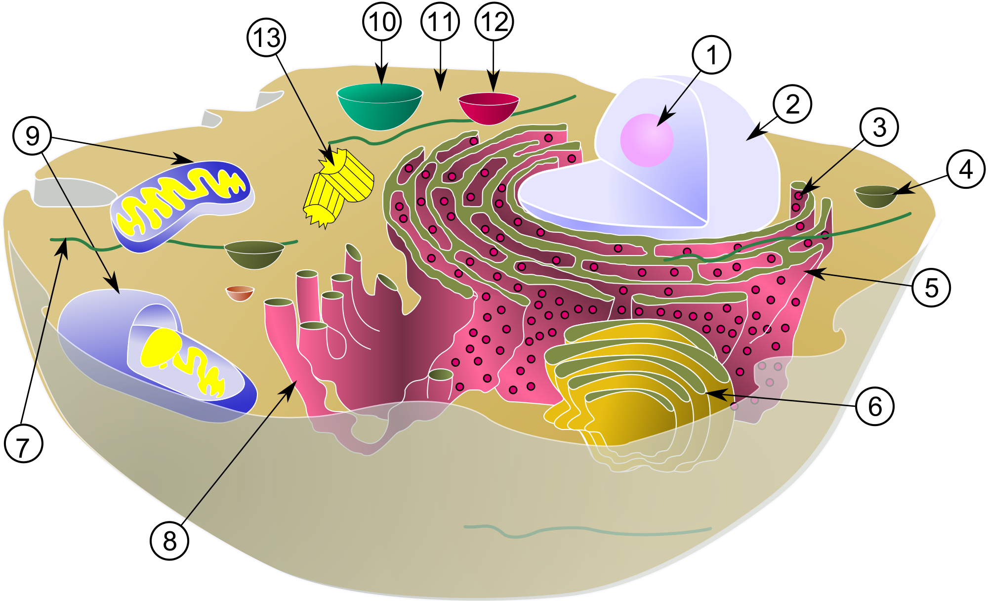 Animal cell png. File biological svg wikimedia
