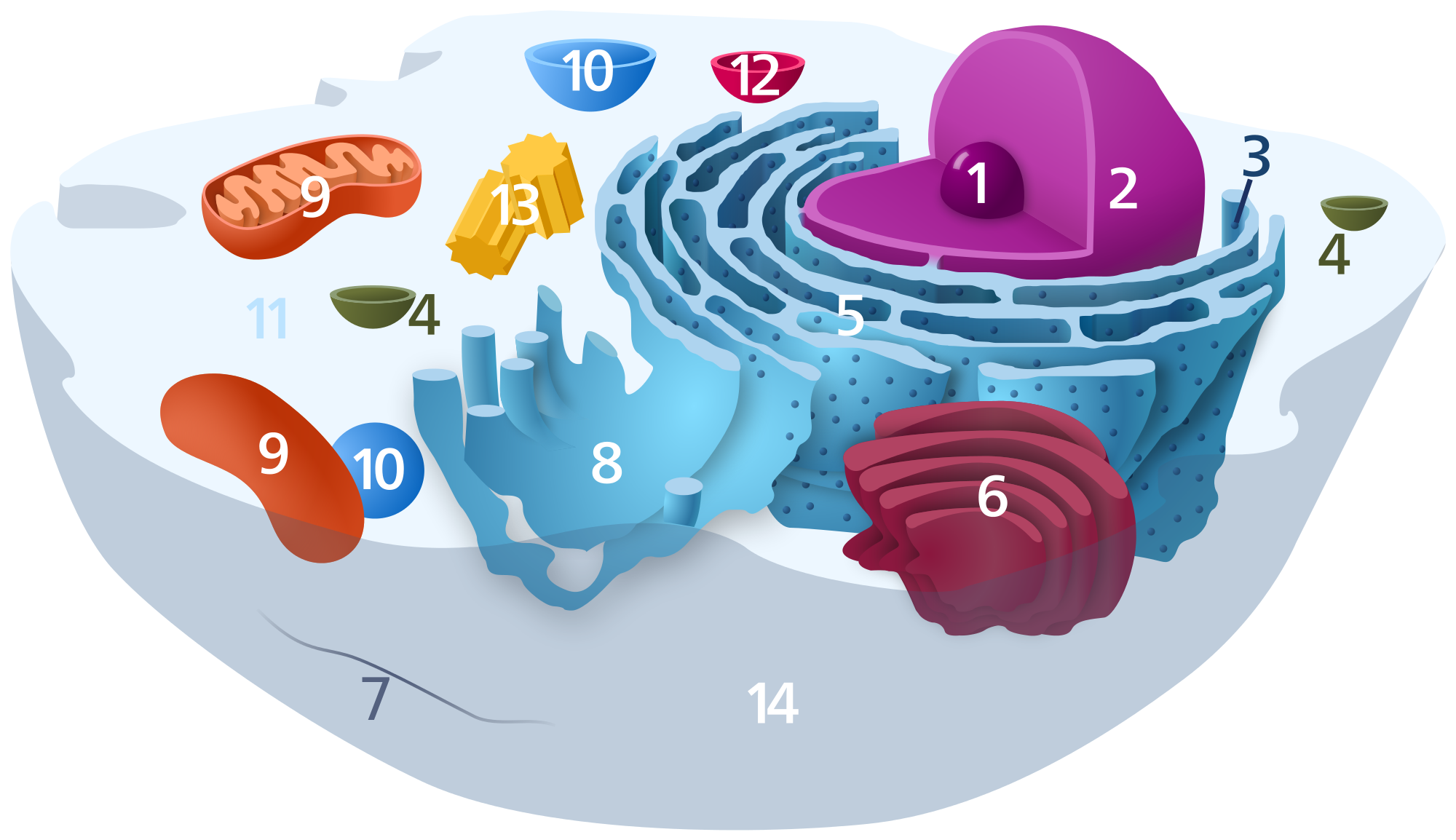 Animal cell png. File svg wikimedia commons