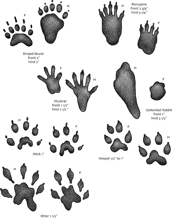 Muddy footprint png. Usgs kids animal tracks