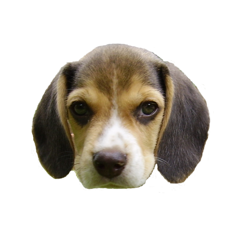 Animal head png. File beagle puppy s
