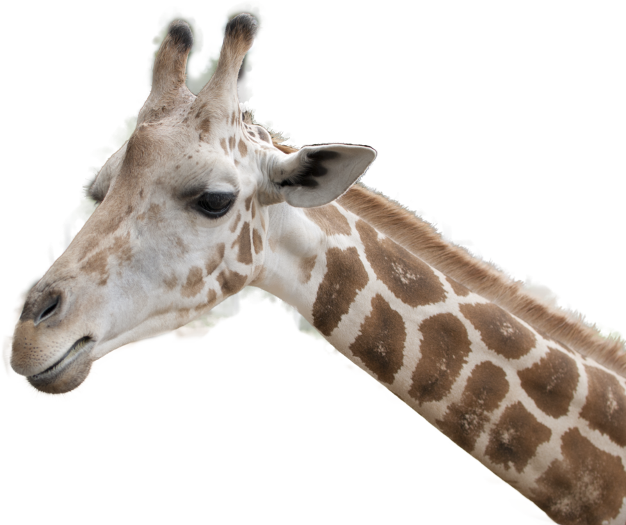 Animal head png. Stock giraffe by earthymoon