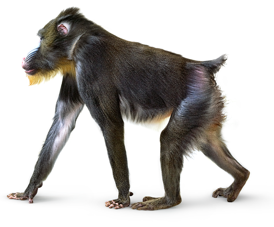 Animal legs png. Monkey images free download