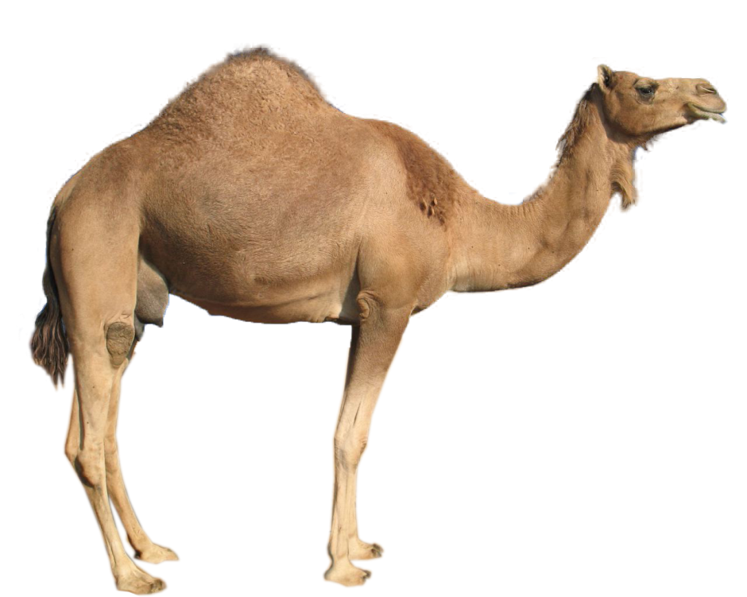 camel transparent domestic animal