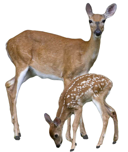 deer drinking png