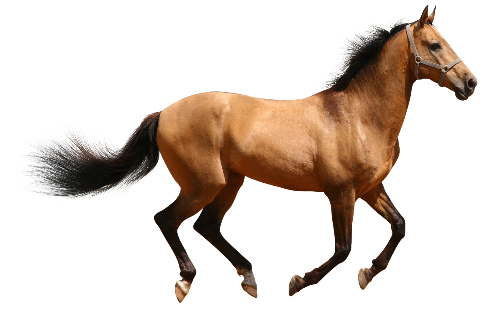 wild horse png