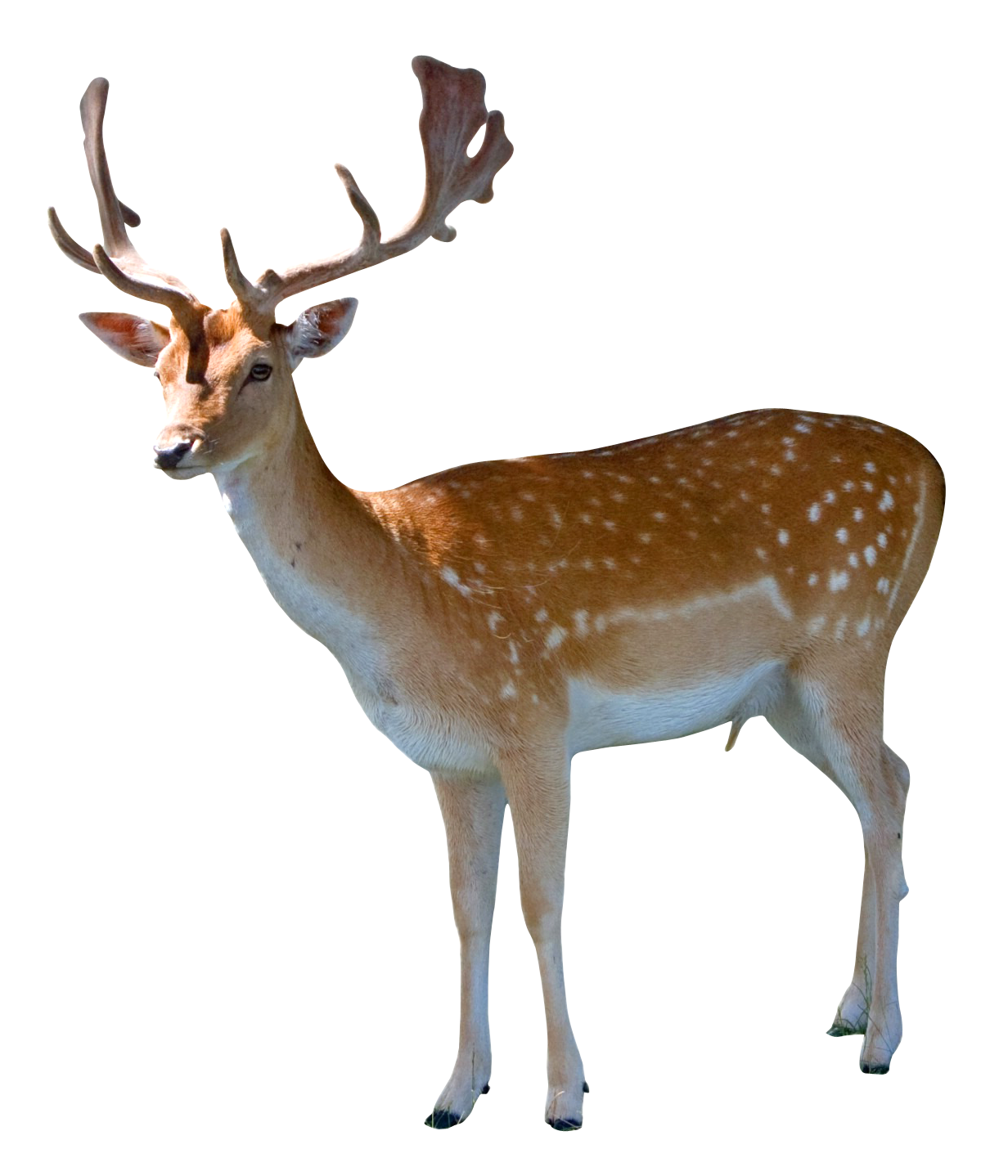 Animal png. Image pngpix com deer