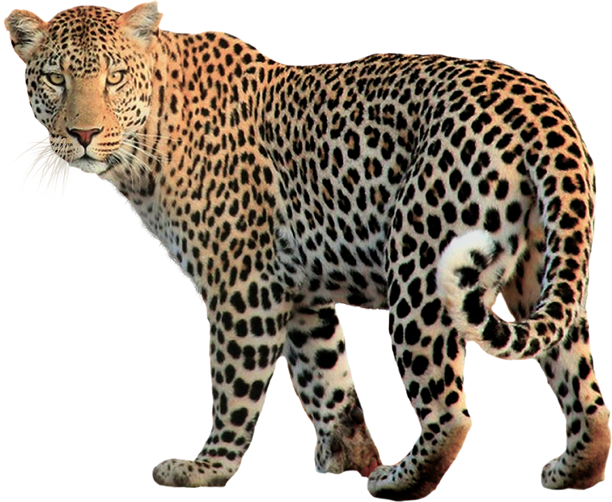 Animal png. Jaguar images free download