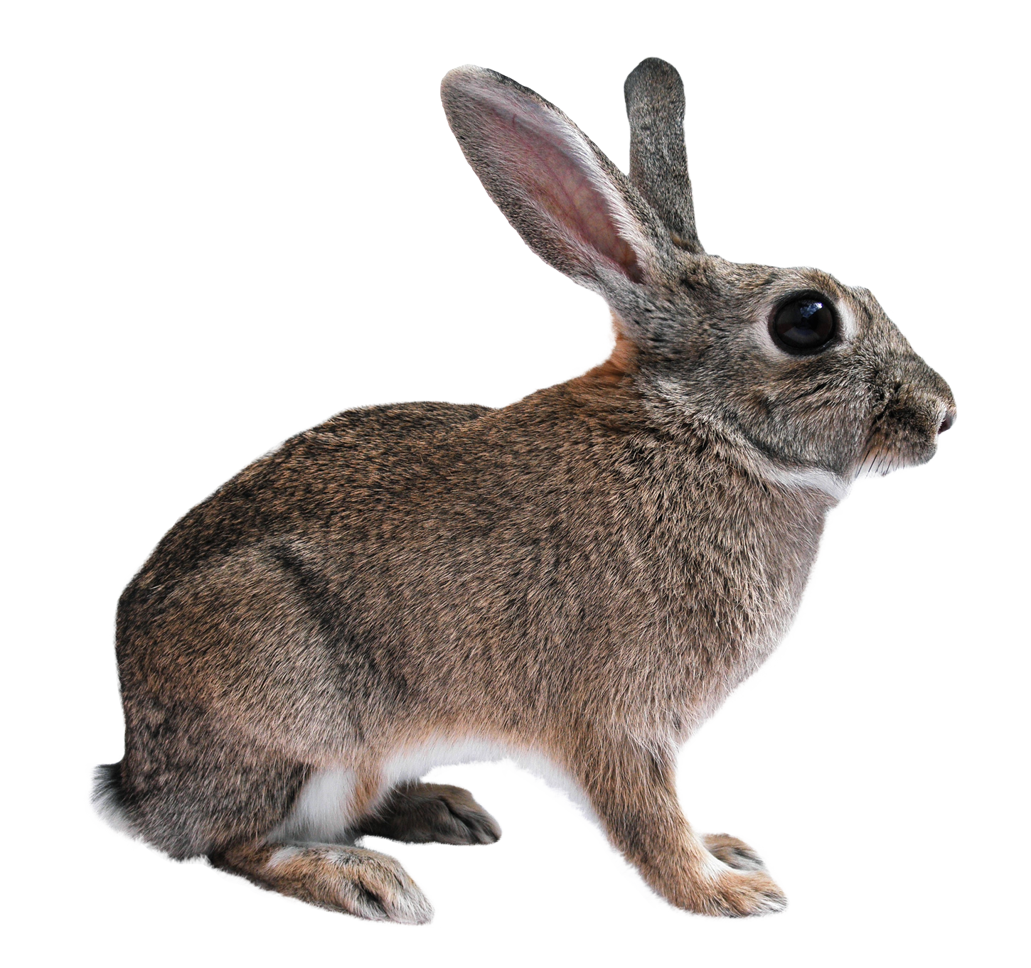 Animal png. Images pngpix rabbit transparent
