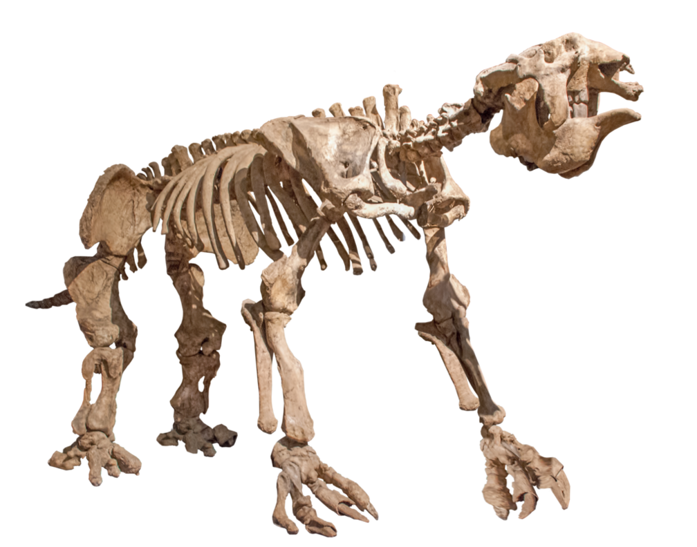 Animal skeleton png. Giant sloth by evelivesey