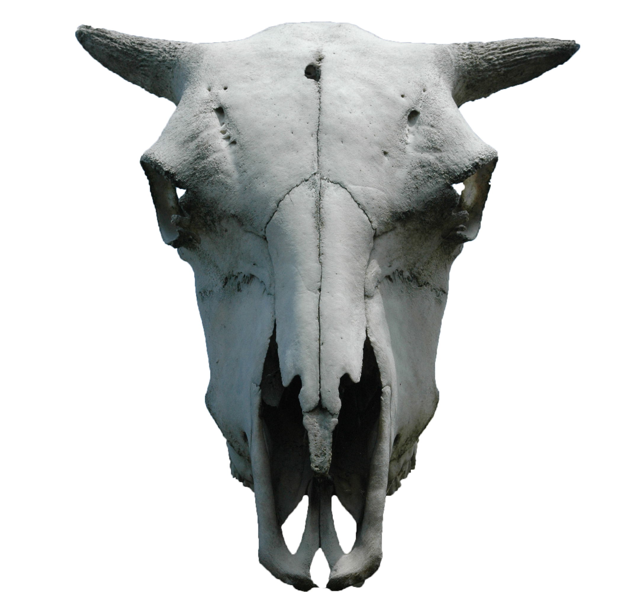 Animal skeleton png. Skull cut out by
