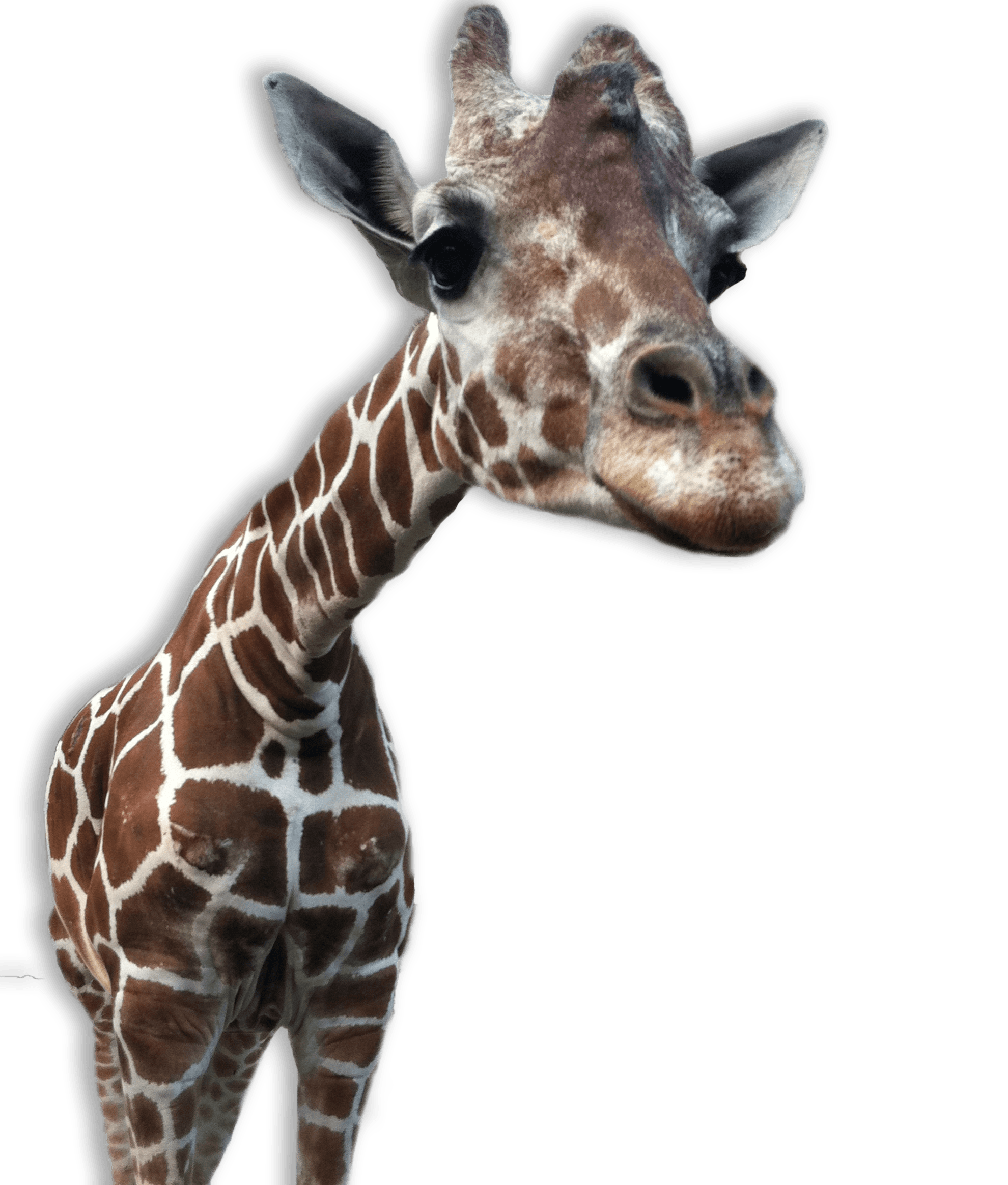 giraffe transparent png