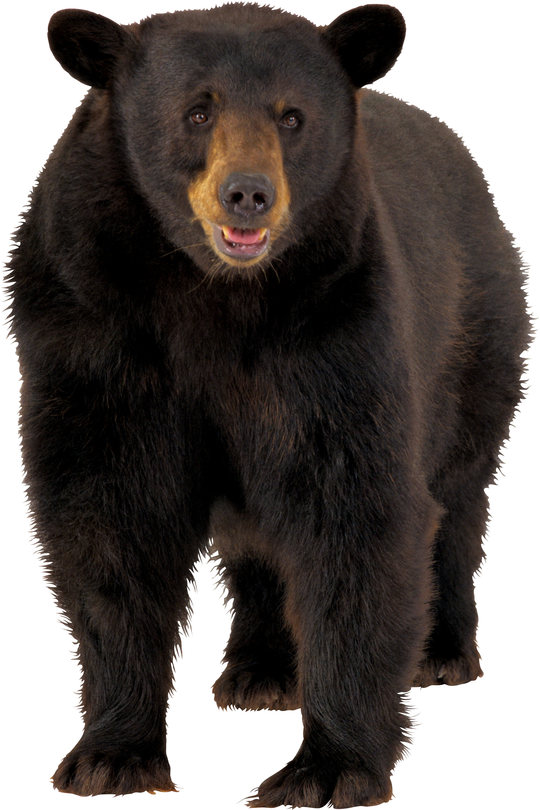 Animals .png. Bear png free images