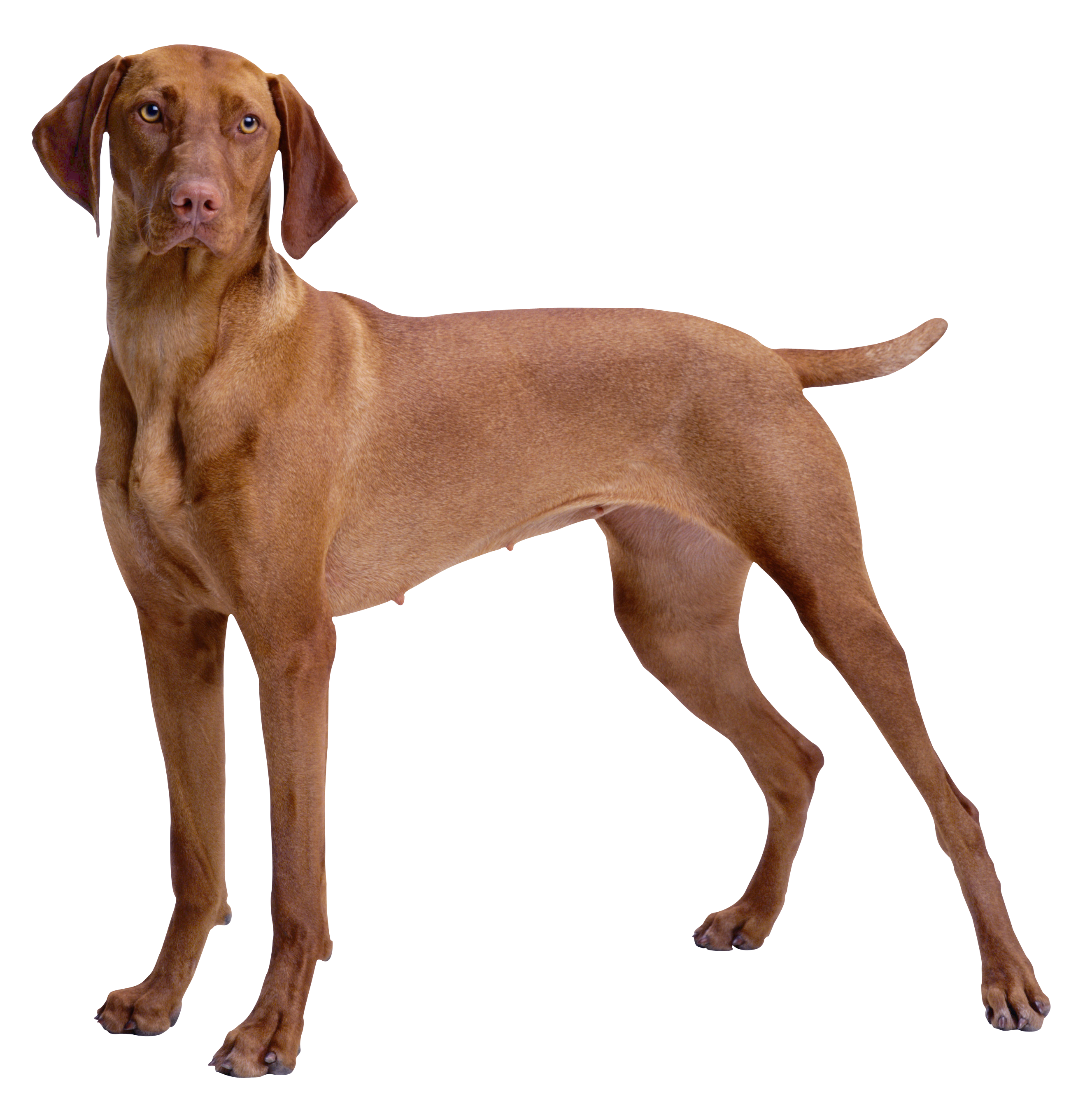 Animals png for photoshop. Brown dog clipart best