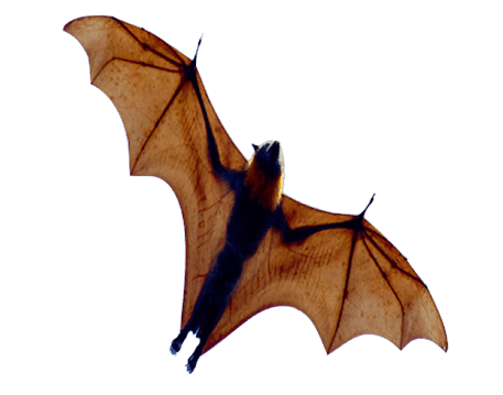 Animals png images. Free toppng bat
