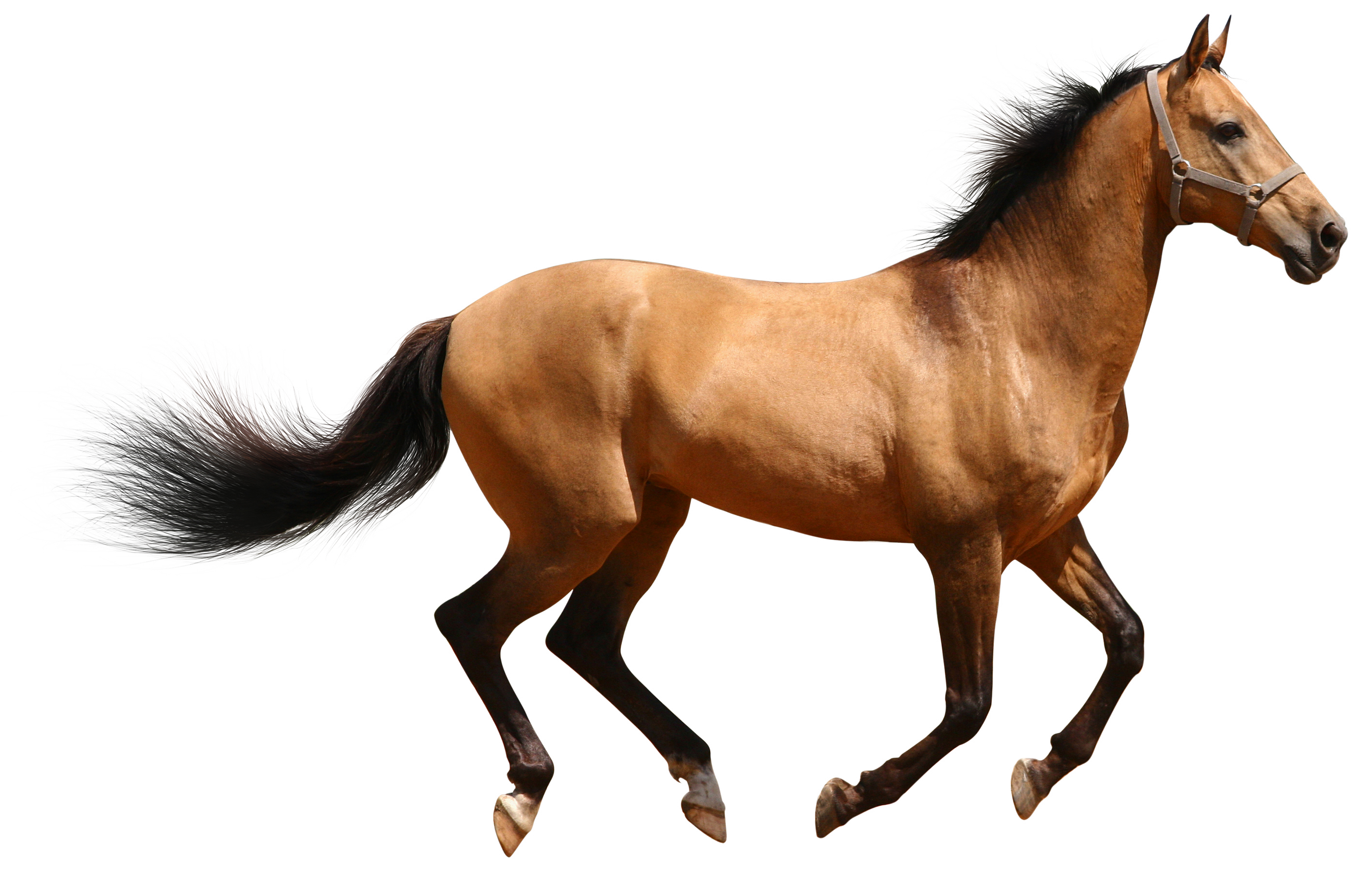 Animals png images. Transparent brown horse gallery