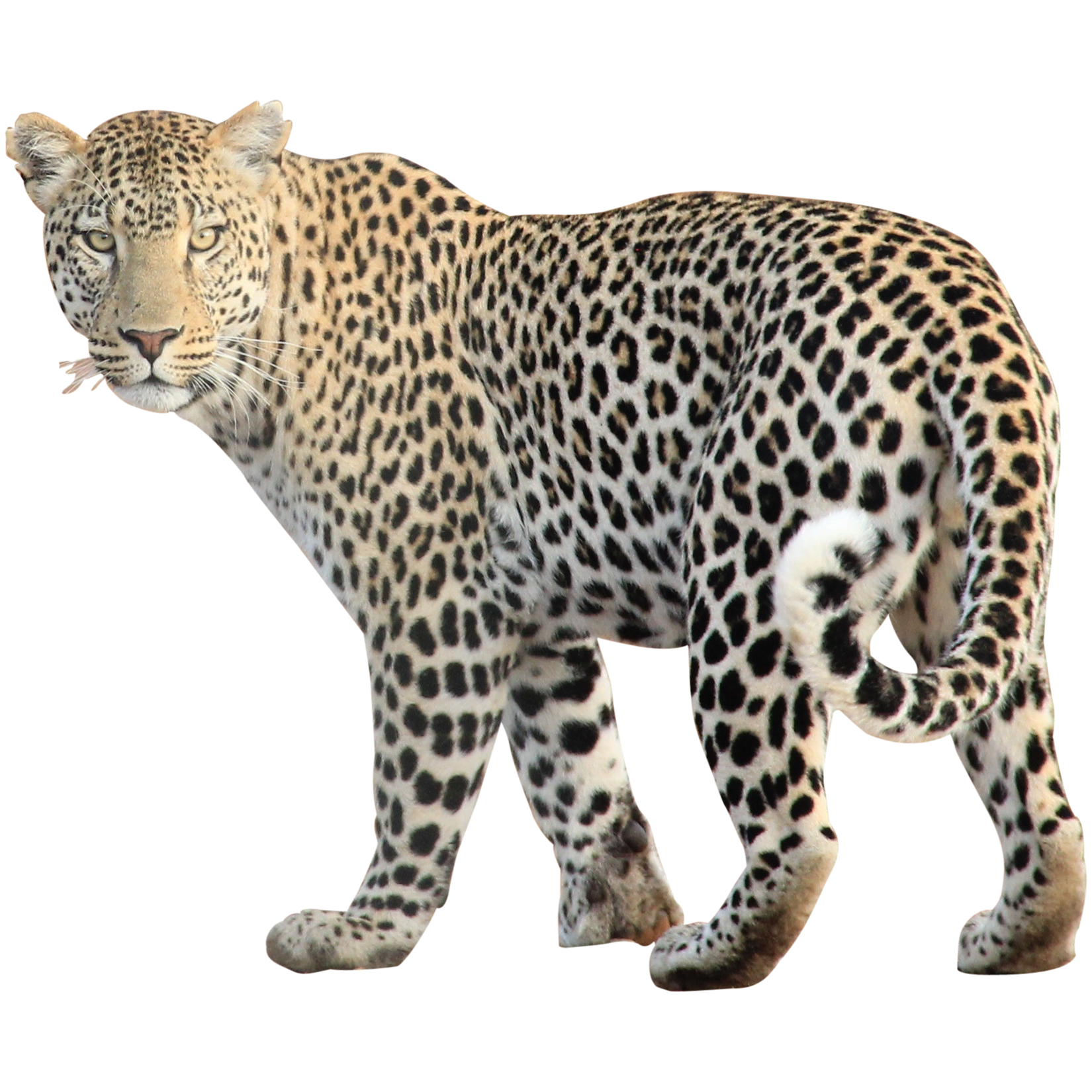 Animal png images. Leopard transparent all free