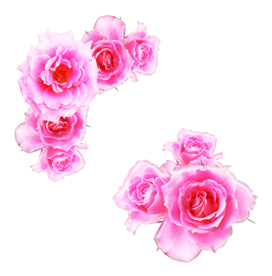 Anime roses png. Bright pink by melissa