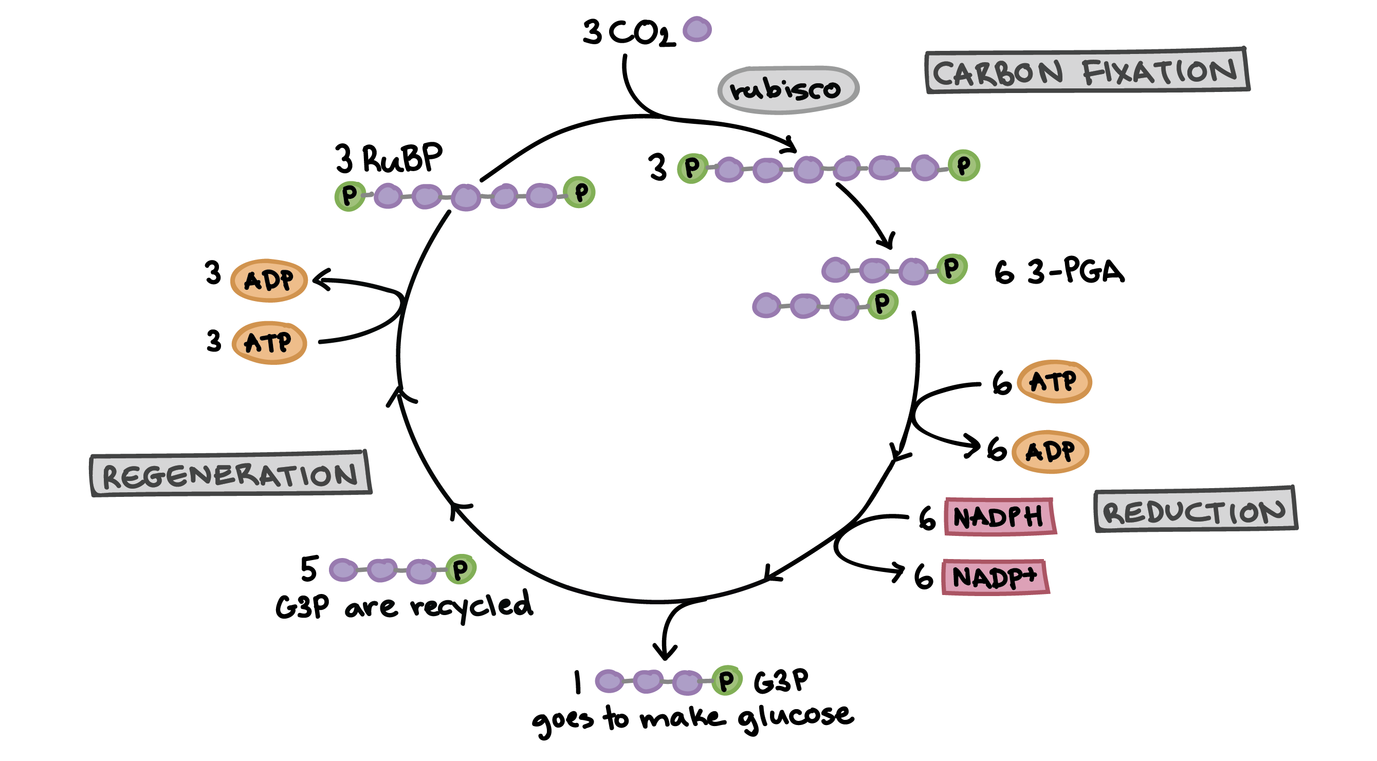 Annotated drawing biological. Learn for free about