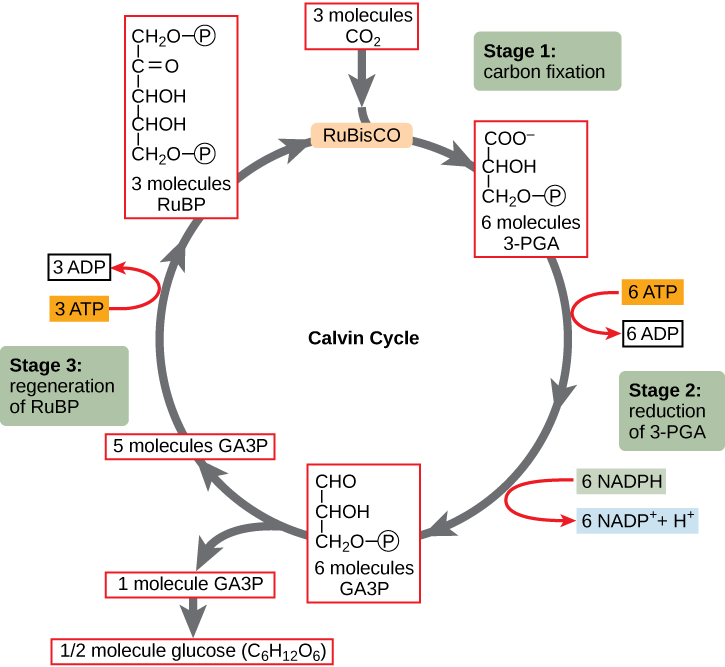 Annotated drawing carbon cycle. Photosynthesis biology libretexts the