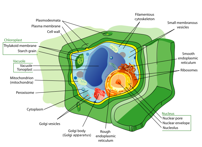 Annotated drawing cheek epithelial cell. Eukaryotic parts functions diagram