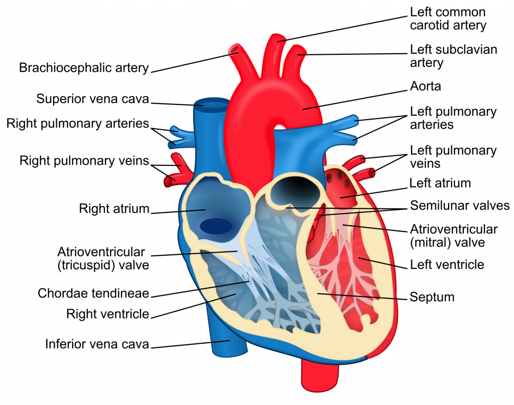 Annotated drawing heart. Image of human body