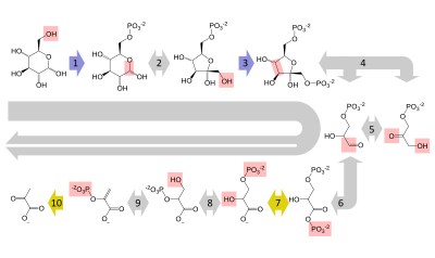 Annotated drawing heart. Glycolysis wikipedia a summary